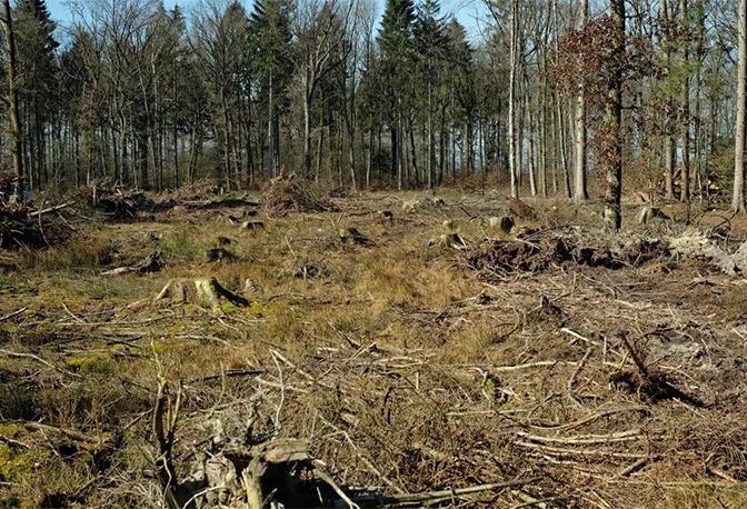 Ausgestorbener Fichtenwald